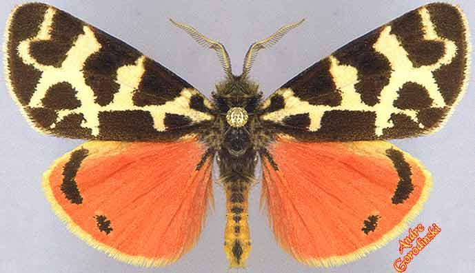 http://www.gorodinski.ru/arctiidae/Palear.ershoffi.jpg