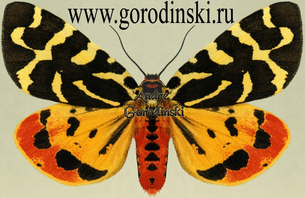 Альбом пользователя ЕкатеринаКостинская: Бабочка Медведица сулей. Коллекция 36 бабочек-малявок