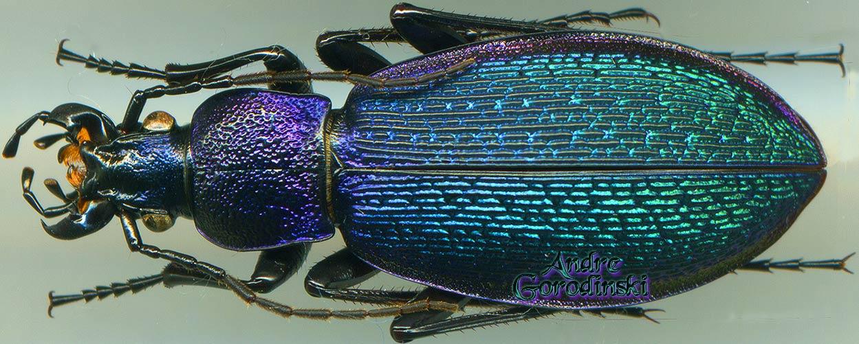 Morphocarabus hummeli pusongensis