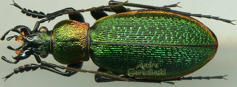 Morphocarabus Hummeli Smaragdulus