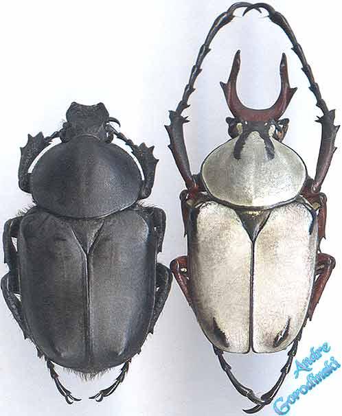 http://www.gorodinski.ru/cetoniidae/Dicranocephalus-adamsi.jpg