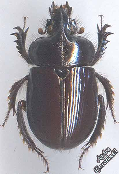 http://www.gorodinski.ru/geotrupes/Ceratophius--polycerus.jpg