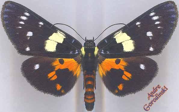 http://www.gorodinski.ru/lepidoptera/Apisteme-lectrix-.jpg