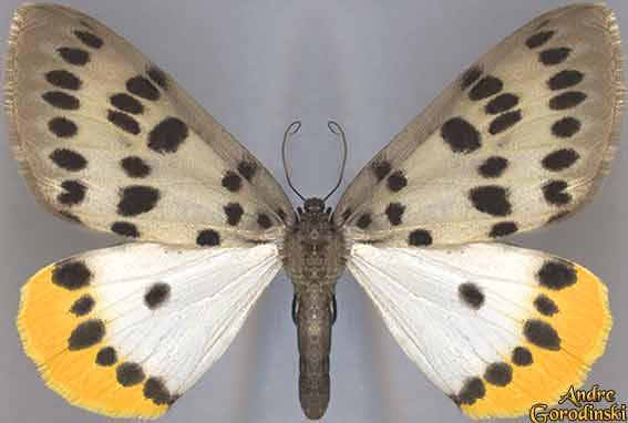 http://www.gorodinski.ru/lepidoptera/Arichanna-sp.-near(A.jaguarinaria).jpg