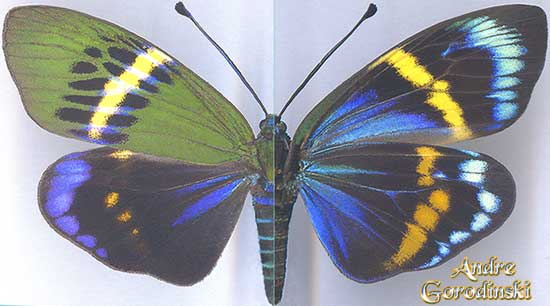 http://www.gorodinski.ru/lepidoptera/Eterusia-repleta.jpg