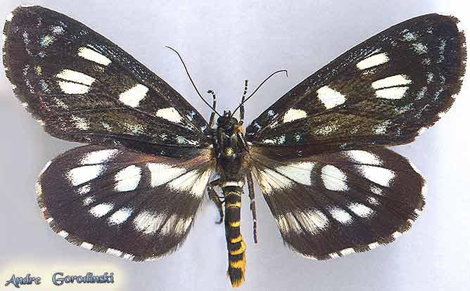 http://www.gorodinski.ru/lepidoptera/Ophthalmis-vithoroides-.jpg