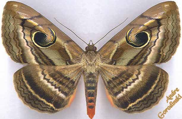 http://www.gorodinski.ru/lepidoptera/Speiredonia-sp.-near-.jpg