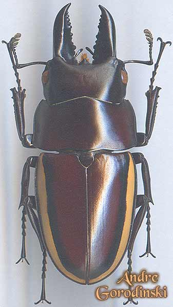 http://www.gorodinski.ru/lucanidae/Prosopocoilus-wallacei.jpg