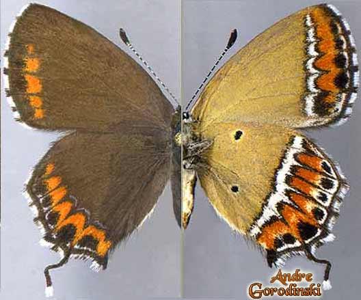 http://www.gorodinski.ru/lycaenidae/Heliophorus-sena.jpg