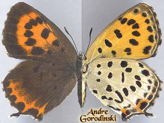 http://www.gorodinski.ru/lycaenidae/Lycaena--svenhedini.jpg
