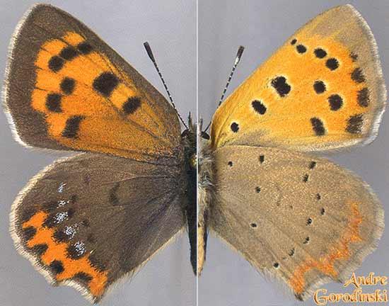http://www.gorodinski.ru/lycaenidae/Lycaena-phlaeas-baralcha.jpg