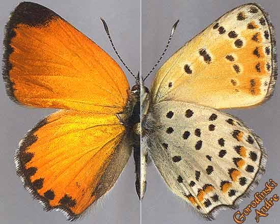 http://www.gorodinski.ru/lycaenidae/Lycaena-solskyi-fulminans.jpg