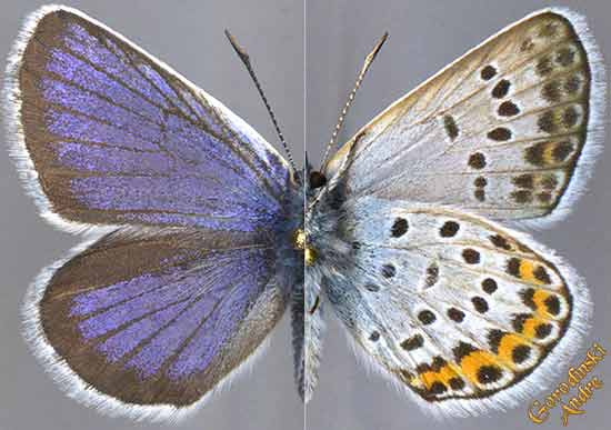 http://www.gorodinski.ru/lycaenidae/Plebejus-argus-coreana-.jpg