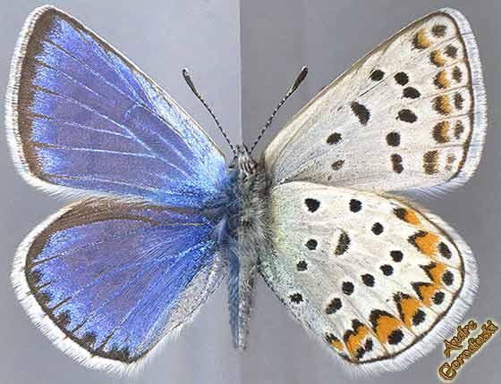 http://www.gorodinski.ru/lycaenidae/Polyommatus-sichuanicus.jpg