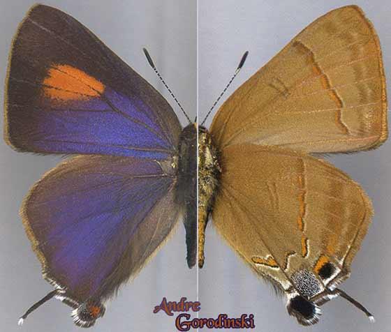 http://www.gorodinski.ru/lycaenidae/Rapala-nissa.jpg