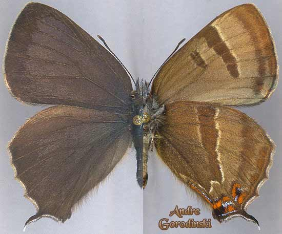 http://www.gorodinski.ru/lycaenidae/Teratozephyrus-icana.jpg