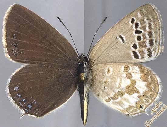 http://www.gorodinski.ru/lycaenidae/Tongeia-ion.jpg