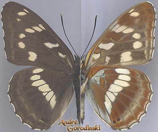 http://www.gorodinski.ru/nymphalidae/Limenitis-amphyssa-s.str.jpg