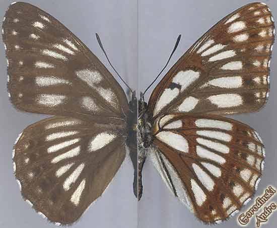 http://www.gorodinski.ru/nymphalidae/Limenitis-cottini.jpg