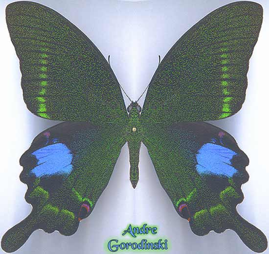 http://www.gorodinski.ru/papilionidae/Papilio--paris-chinensis.jpg