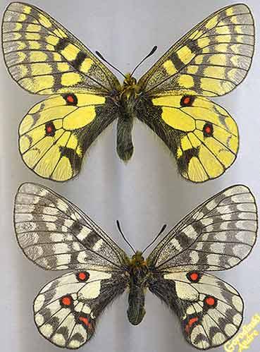 http://www.gorodinski.ru/papilionidae/Parn.-eversmanni-s.str..jpg