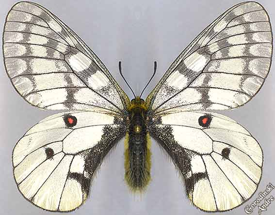 http://www.gorodinski.ru/papilionidae/Parnas.-felderi-s.str.jpg