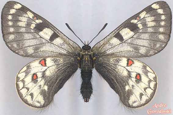 http://www.gorodinski.ru/papilionidae/Parnas.-simo-yunnanensis.jpg