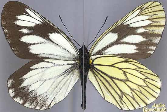 http://www.gorodinski.ru/pieridae/Aporia-acraea.jpg