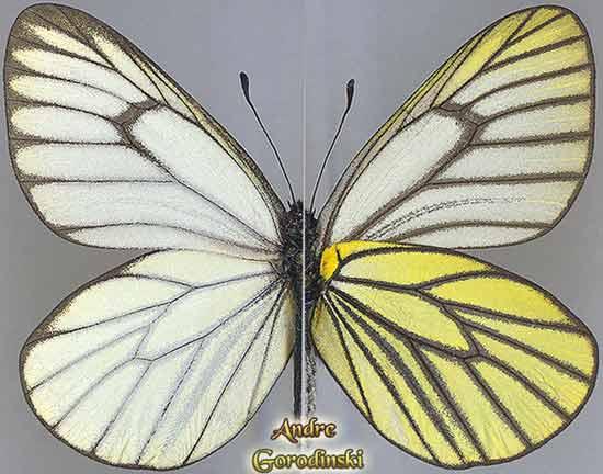 http://www.gorodinski.ru/pieridae/Aporia-hippia.jpg