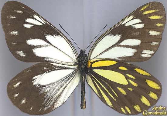 http://www.gorodinski.ru/pieridae/Aporia-nutans.jpg