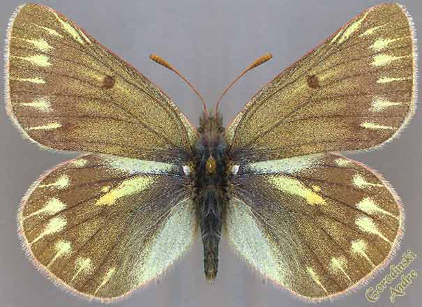 http://www.gorodinski.ru/pieridae/Colias--mongola.jpg