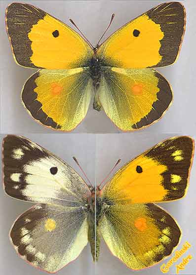 http://www.gorodinski.ru/pieridae/Colias-crocea-.jpg