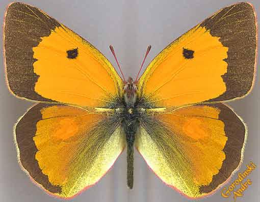 http://www.gorodinski.ru/pieridae/Colias-fieldii.jpg