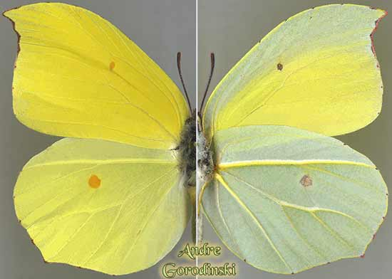 http://www.gorodinski.ru/pieridae/Gonepterix-amintha.jpg