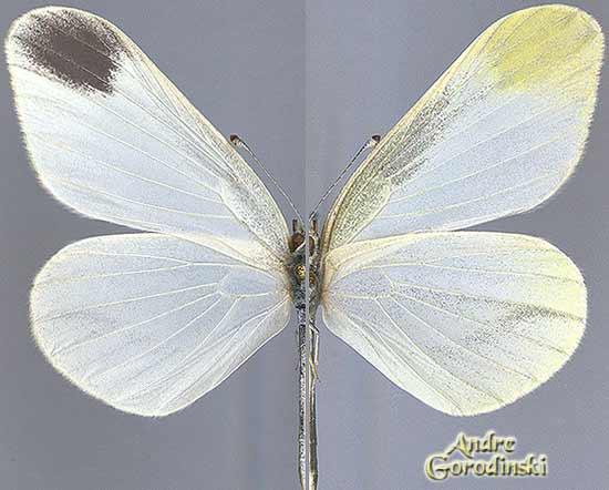 http://www.gorodinski.ru/pieridae/Leptidia--amurensis-s.str..jpg