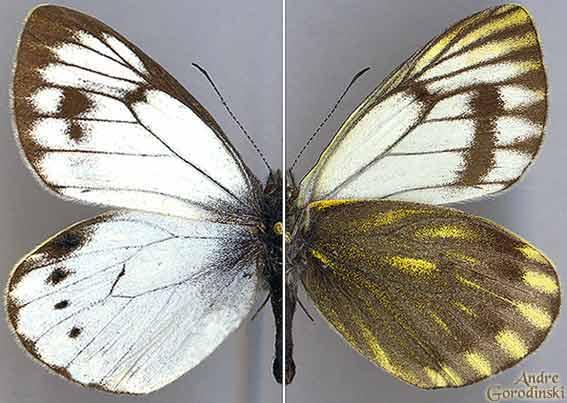http://www.gorodinski.ru/pieridae/Parapieris-kozlovi.jpg