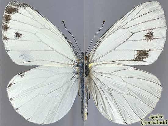 http://www.gorodinski.ru/pieridae/Pieris-dulcinea-s.str..jpg