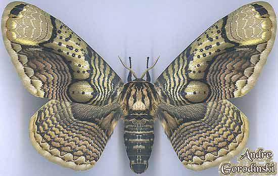 http://www.gorodinski.ru/saturniidae/Brahmaea-wallichi-insulata.jpg