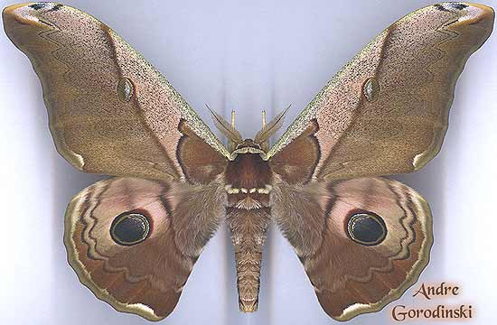 http://www.gorodinski.ru/saturniidae/Caligula-simla-francki.jpg