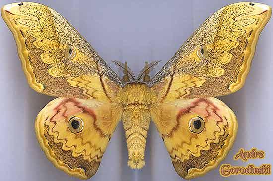 http://www.gorodinski.ru/saturniidae/Caligula-thibeta-s.str..jpg
