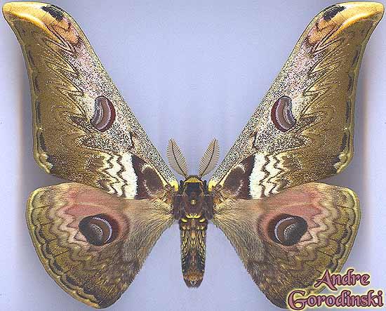 http://www.gorodinski.ru/saturniidae/Caligula-zuleika.jpg