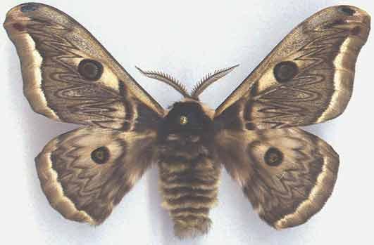 http://www.gorodinski.ru/saturniidae/Eriogina.jpg