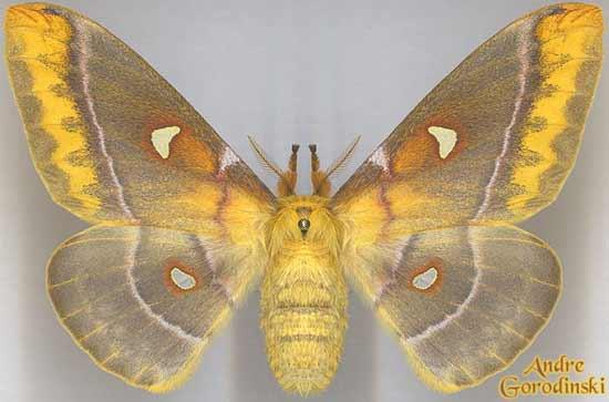 http://www.gorodinski.ru/saturniidae/Rhodinia-jankowskii.jpg