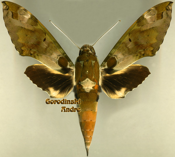 http://www.gorodinski.ru/sphingidae/Cechenena%20helops.jpg